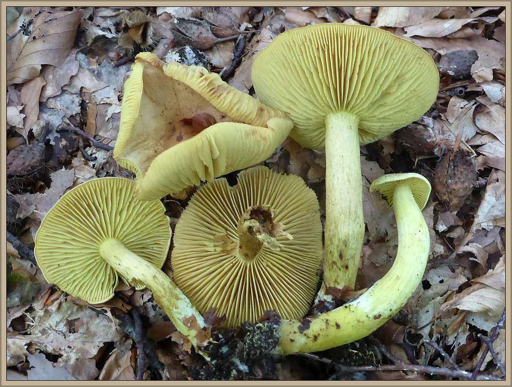 Dieses Foto stammt allerdings von gestern. Es zeigt Schwefel - Ritterlinge (Tricholoma sulphureus). Typische Herbstpilze, passend zum Wetter der kommenden Woche. Er ähnelt etwas dem Grünling, ist aber u. a. gut an seinem penetranten Leuchtgasgeruch zu unterscheiden. Giftig. Standortfoto im Neukloster Forst.