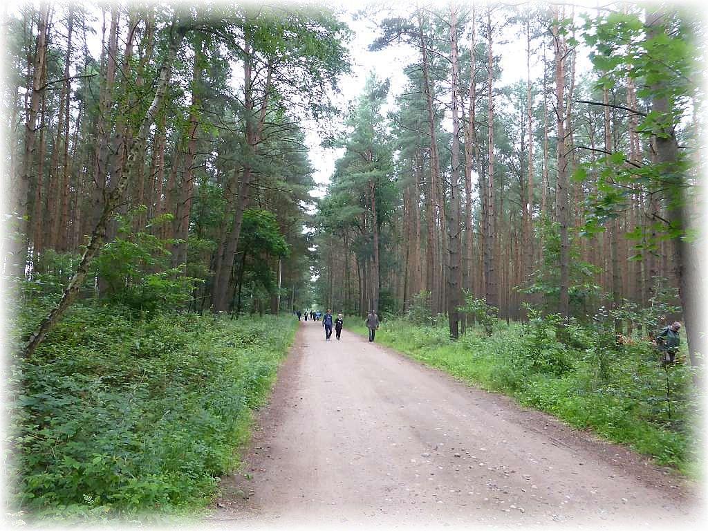 Weiter fügr und der Weg durch Kiefernwald, der heutzutage an dieser Stelle recht verkrautetist, In meiner Jungend war es hier moosiger und es gab Pfifferlinge, heute war an dieser Stelle diesbezüglich aber nichts mehr zu machen.