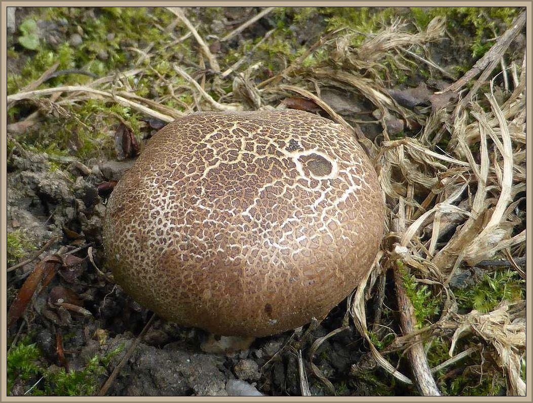 Hier begrüßte uns auch der erste Pilz unserer Tour, ein Vertreter der Hartboviste (Scleroderma spec.).