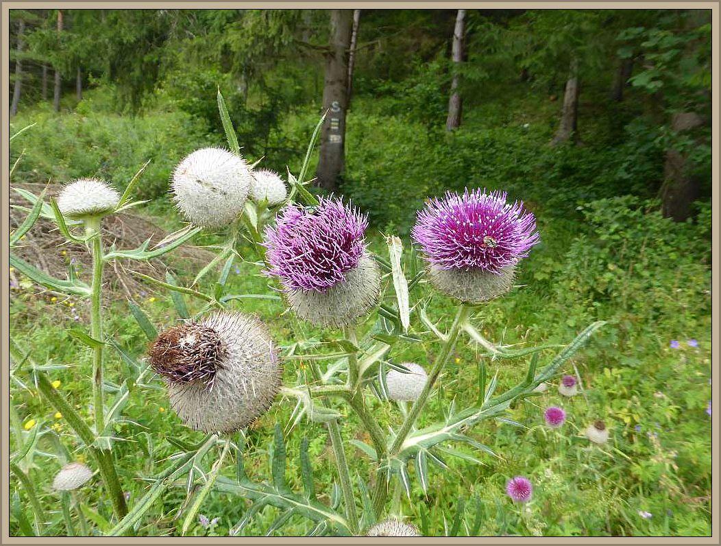 Bis auf giftige Wiesentrichterlinge, die direkt auf dem kurzen Rasen bei den Finnhütten wuchsen, fanden wir leider keine weiteren Frischpilze. Dafür erfgreuten uns viele Pflanzen wie beispiesweise dieses prächtigen Diesteln.