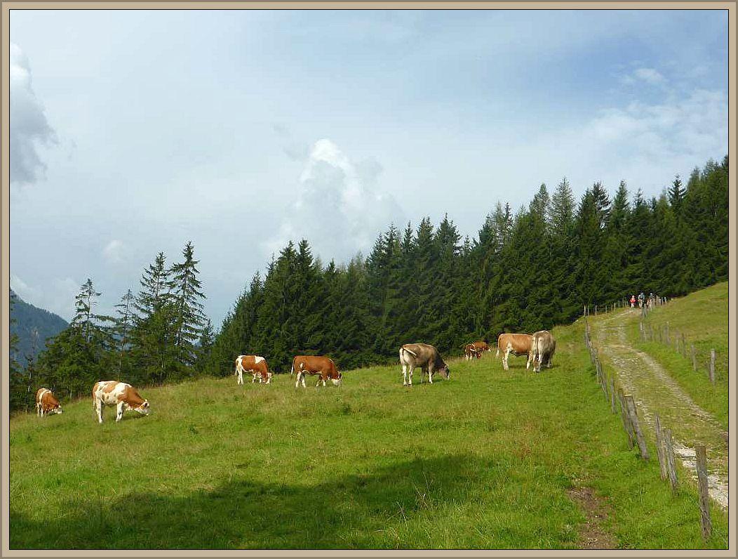 Auf den Bergwiesen, den Almen weiden Kühe und ihre Glocken begleiten sie bei jedem Schritt. Lila sind sie zwar nicht, aber immerhin schokoladenbraun gefleckt.