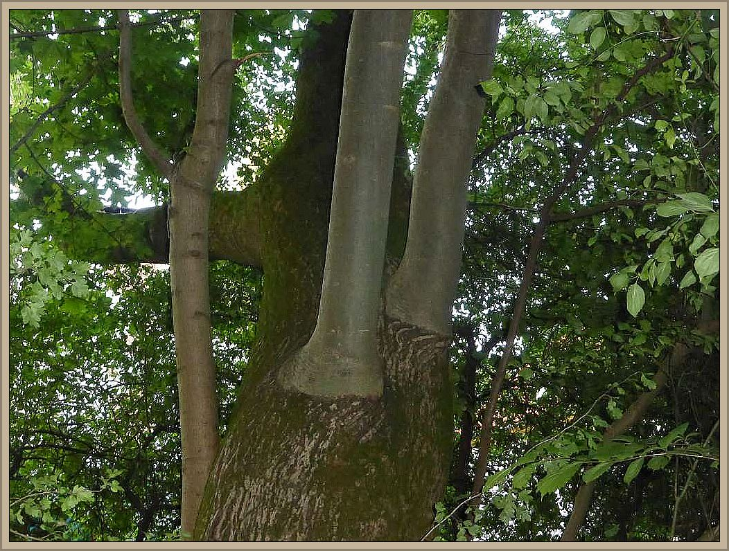 Hier steht auch der Elefantenfuß - Baum.