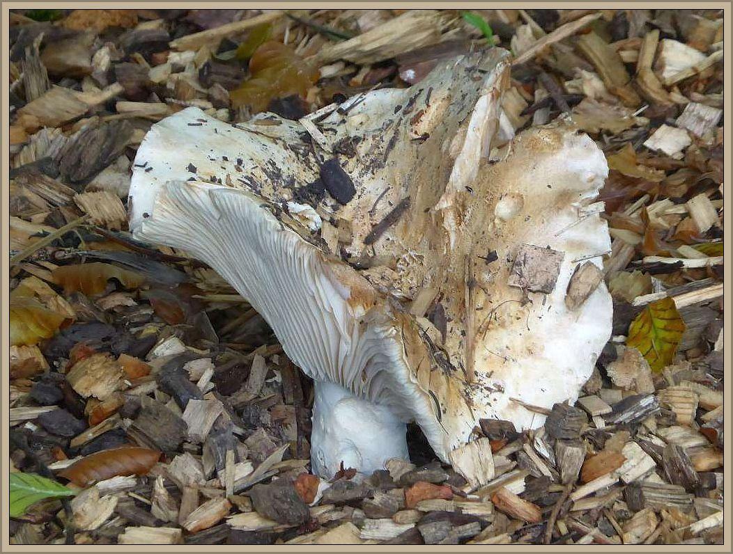 Direkt angrenzend an das Gelände der Jugendherberge befand sich ein Kindergarten. Hier wuchsen unter Nadelbäumen aus dem mit Holzhäcksel bedecktem Boden sehr ansehnliche Gemeine Weißtäublinge (Russula delica).