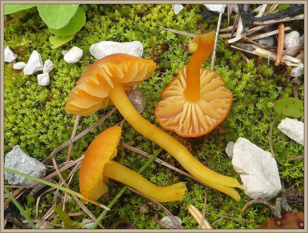 Im kurzem Moos, am Waldwegrand mit viel Kalkgestein wuchsen diese Saftlinge (Hygrocybe spec.). Auffallend sind die dicklichen, entfernt stehenden, mit kürzeres untermischten Lamellen.