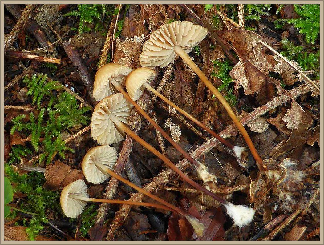 Der Hornstiel - Schwindling (Marasmius cohaerens) war am Fuße der Zugspitze allgegenwärtig. Der Steife, nach unter zu immer dunkler werdende Stiel mit dem striegeligen Basisfilz sind gute Kennzeichen dieses vor allem auf Holzresten in Nadelwäldern wachsenden Blätterpilzes.