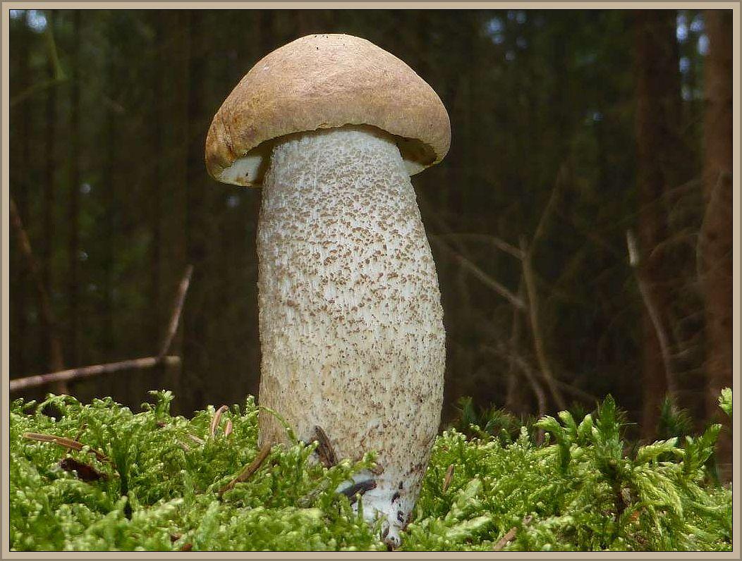 Von hier aus unternahmen wir eine Pilzexkursion in den Oberpfälzer Wald. Hier sehen wir einen jungen Birkenpilz (Leccinum scabrum).