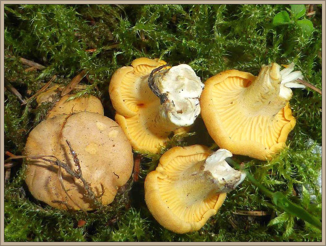 Auch Eierschwammerln oder besser bekannt unter Pfiferlinge (Cantharellus cibarius) waren im kurzen Moos vertreten.