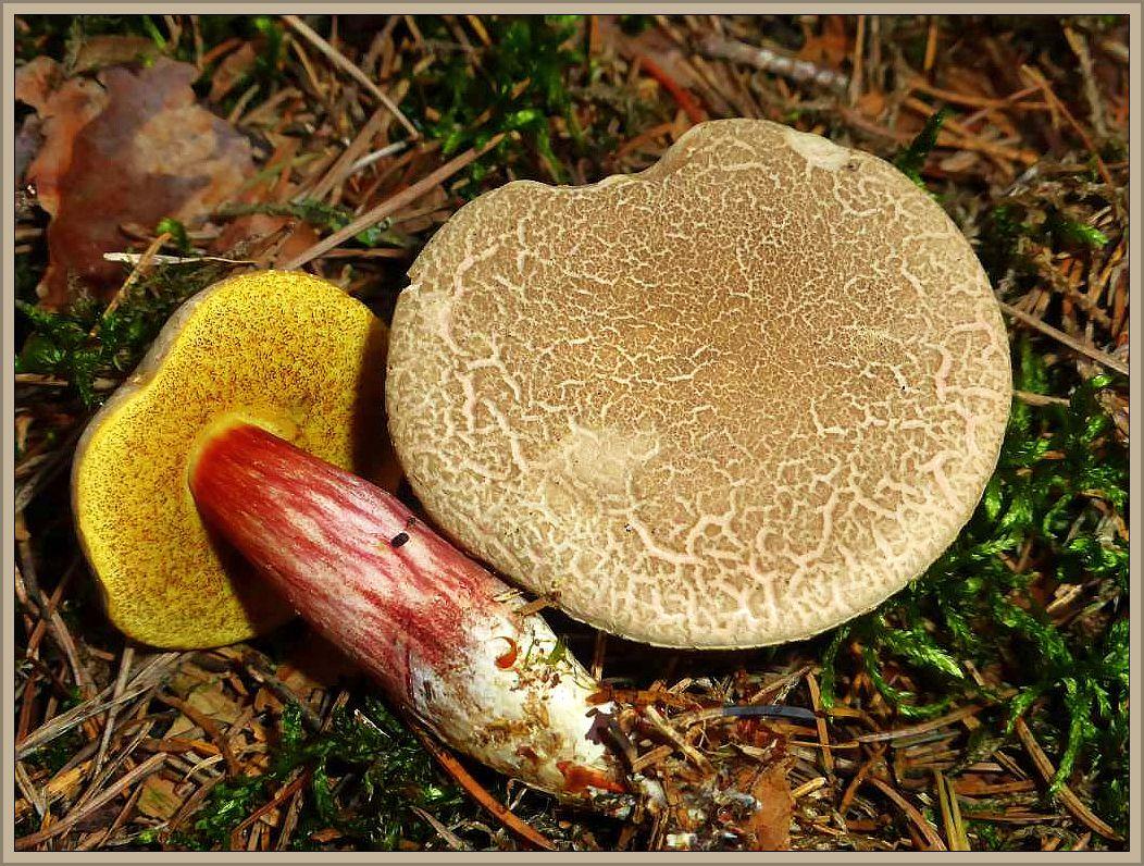 Auch der häufigste Röhrling überhaupt, das Rotfüßchen (Xerocomus chrysenteron) war hier zu hause.
