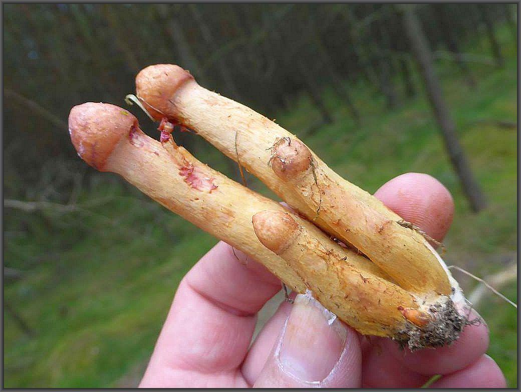 Noch fast embryonale Kupferrote Gelbfüße (Chroogomphus rutilus). Der strenge Kiefernbegleiter ist kaum verwechselbar, schmeckt gut und gibt der Speise zusätzlich noch einen interessanten Farbaspekt.