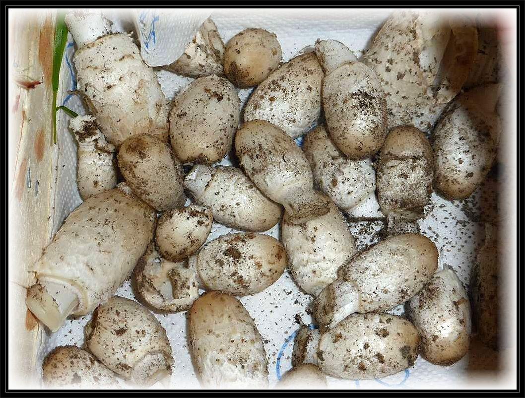 Ein großer Trupp Schopf - Tintlinge (Coprinus comatus) im optimalen Entwicklungszustand gaben die Veranlassung dazu. Die erste Pilzmahlzeit ist bereits gesichert.