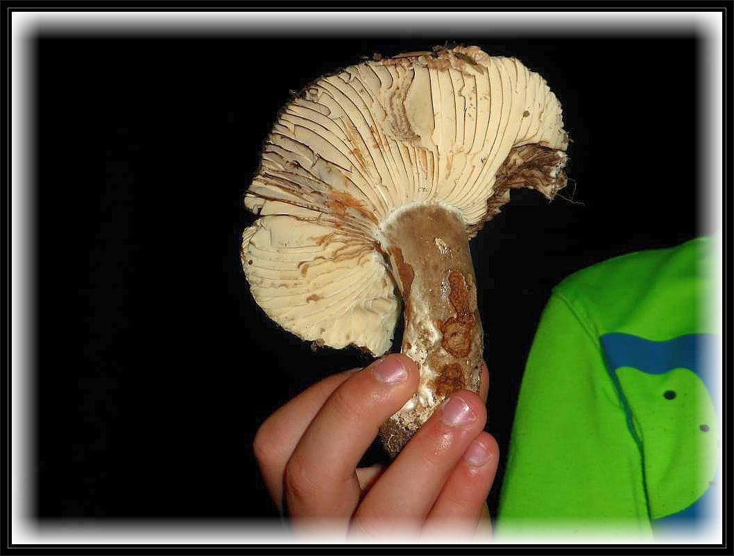 Der Dickblättrige Täubling (Russula nigricans) ist ein minderwertiger Speisepilz. Bei Verletzung rötet er zunächst um dann zu schwärzen.