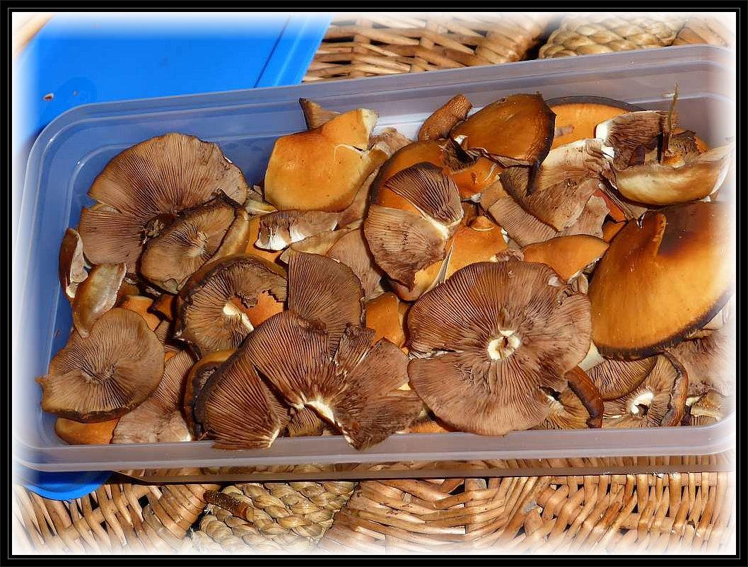 Zwar haben die Ränder der Hüte schon unter der Hitze gelitten, aber trotzdem sind die edelen Stockschwämmchen noch in akzeptabeler Speise - Qualität.