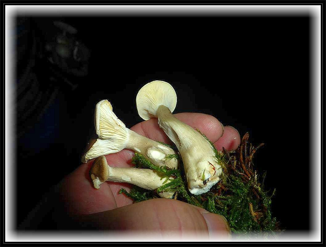 Als Mischpilz verwendbar sind auch diese Keulenfu0 - Trichterlinge (Clitocybe clavipes), mit ihren keulig aufgeblasenen Stielen, die bei feuchtem Wetter mit Wasser vollgesogen sind.