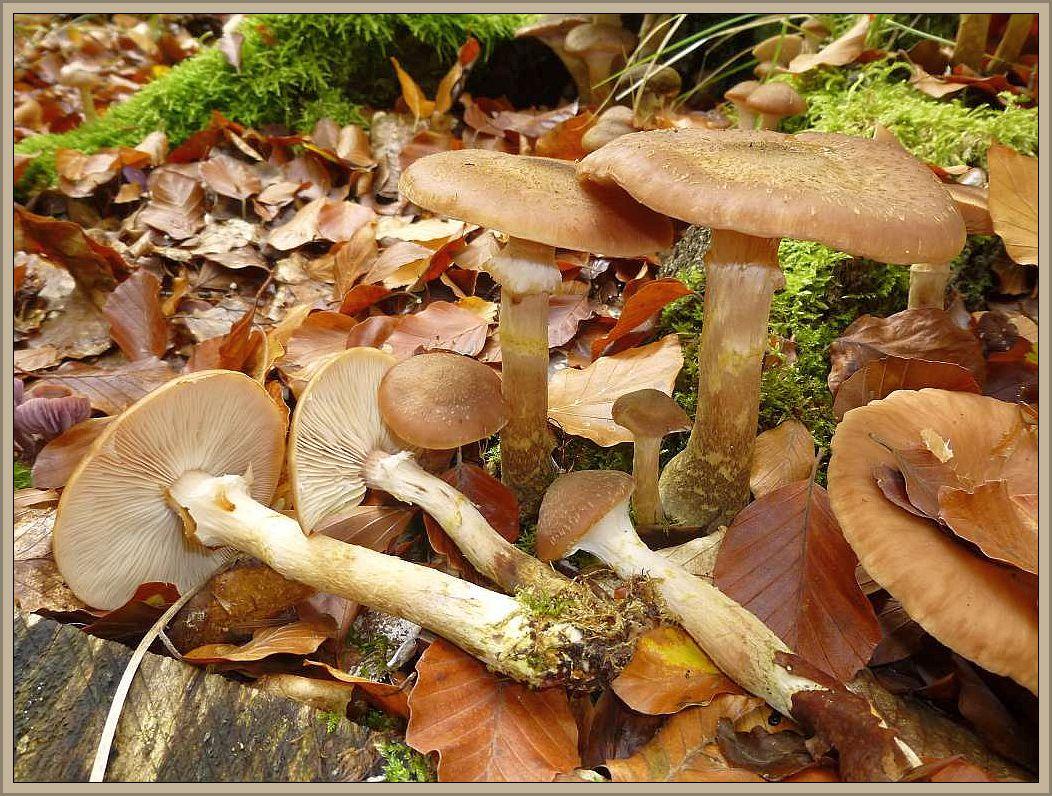 Besonders im Oktober ist der Hallimasch oft der ergiebigste Massenpilz. Überall an Laub- und Nadelholz brechen die großen Stockschwämme teils in gewaltigen Büscheln hervor. Der Stiel ist beringt und auf dem Hut sind meist zahlreiche kleine Schüppchen vorhanden. Da Hallimasch eine Blätterpilz - Gattung mit verschiedenen Arten ist, sehen sie oft auch recht unterschiedlich aus. Allen gemein ist der seifig zusammenziehende Geschmack des rohen Pilzes, der gut durchgegart werden muss, da er roh giftig ist und das weiße Sporenpulver, was bei anderen Stubbenpilzen dunkel gefärbt ist. Würziger Speisepilz, der aber etwas schleimt. Die Stiele werden nicht verwendet.