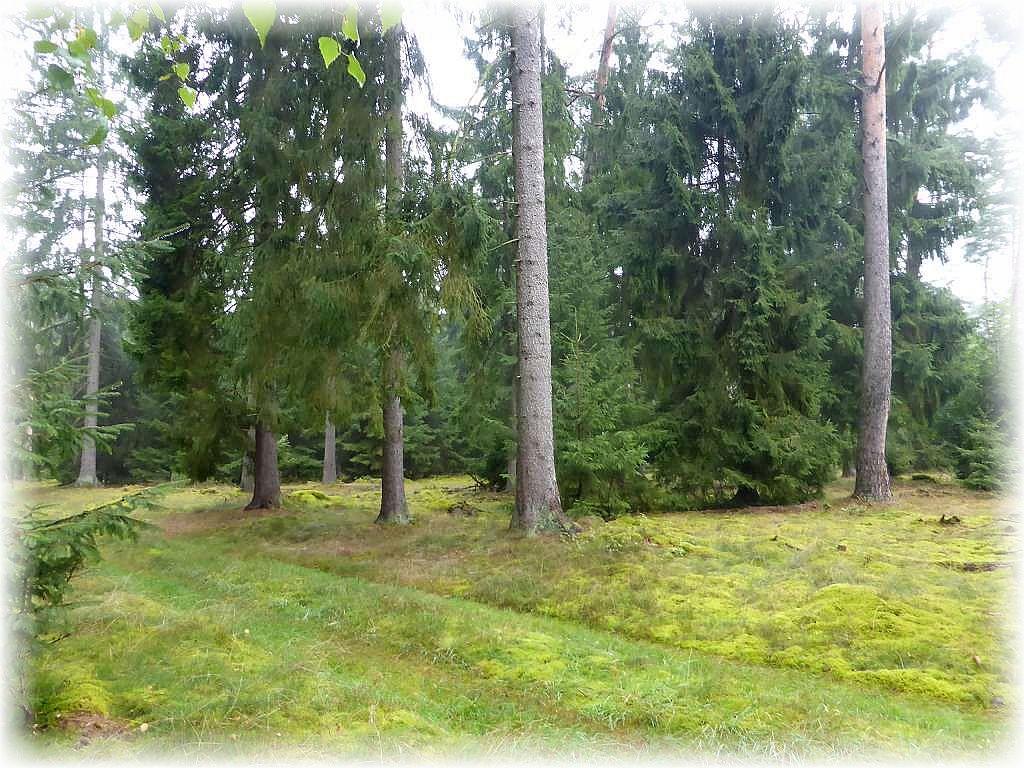 Dicke Moos - Teppiche bedecken den lichten Waldboden. Auf dem verfestigten Waldweg im Vordergrund stand das Wasser regelrecht in den Fahrspuren. Zumindest hier sollten sich bald wieder vermehrt frische Fruchtkörper zeigen.