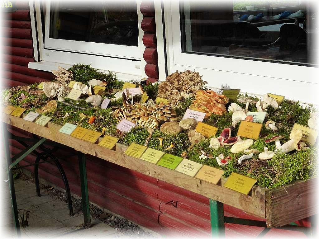 Die gut 30 Pilzarten sind auch noch morgen an der Blockhütte am Roten See zu bewundern.