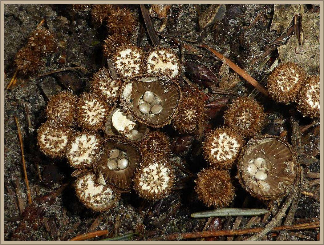 Hier noch ein Foto von gestern. Es zeigt Gestreifte Teuerlinge (Cyathus striatus) in allen Entwicklungsstadien. Teuerlinge sind gern, so auch hier, längst der Waldwege zu finden. Standortfoto in den Questiner Tannen.