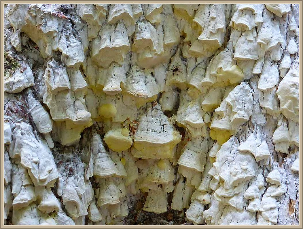 Resupinat bedeuted eigentlich flächig dem Substrat anliegend. Das trifft für diese Art nur bedingt zu, den ganz typisch sind die kleinen, Spitzdachförmigen Hutkannten die sich zahlreich aus der Resupinaten Schicht heraus entwickeln. So lassen sich durch die auf der Unterseite befindlichen Sporen leichter dem Wind anvertrauen und können durch die Schwerkraft auch leichter ausfallen. Charakerristisch ist auch die Gelbverfärbung der Fruchtschicht.