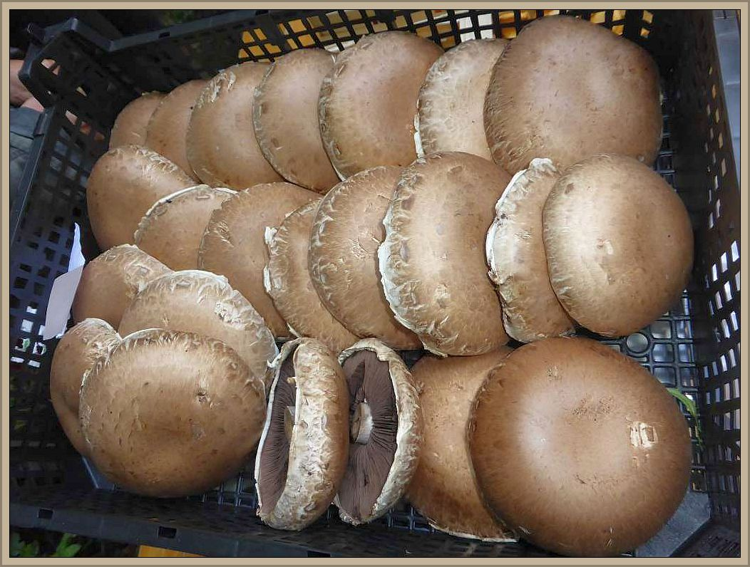 Zum Glück bietet der Handel ganzjährig Zuchtpilze an, so wie diese braunen Champignons, die besonders aromatisch sein sollen.im Handel zu