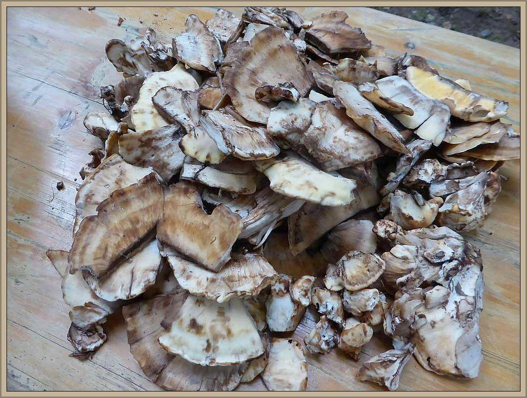 Zerkleinerte Stücke des Riesenporlings, den wir heute als einzigen, ergiebigen Frischpilz fanden, landeten dann als Zugabe in der Pilzpfanne. Einen Nachteil gibt es bei ihm allerdings. Er schwärtzt!