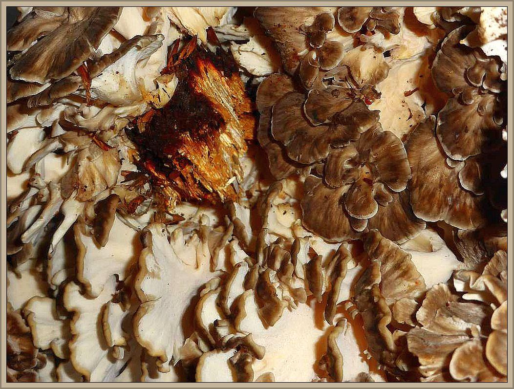 Eine ordentliche Ladung Klapperschwämme waren wohl das bemerkenswertete, was unsere heutigen Sammelexkursionen erbrachten. Der Klapperschwamm (Grifola frondosa) kann gewaltig groß und schwer werden. Wir finden die Sammelfruchtkörper am Fuße alter Eichen. Jung können die Pilze gegessen werden.