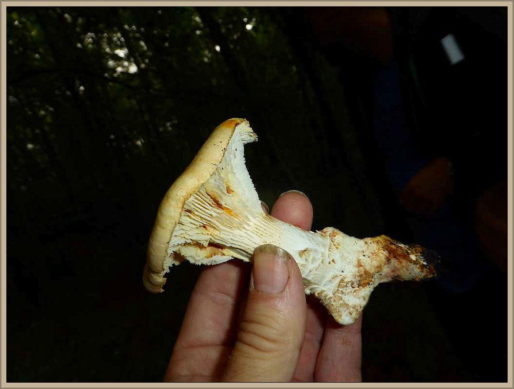 Dieser zähfleischige Blätterpilz wächst an Kiefernholz, besonders dort, wo es sehr trocken ist. Der sahneweißliche Pilz besitzt einen mit hellbräunlichen Schuppen ausgestatteten Hut und gesägte Lamellenschneiden. Sie wirken von der Seote betrachtet, wie die Zähne eines Sägeblattes, was beiom genau hinseghen auch auf diesem Foto zu erkennen ist. Der Pilz ist nicht nur zäh, sondern schmeckt auch nicht. Pilze mit solchen Eigenschaften bezeichnet man als ungenießbar, sie müssen aber nicht giftig sein.