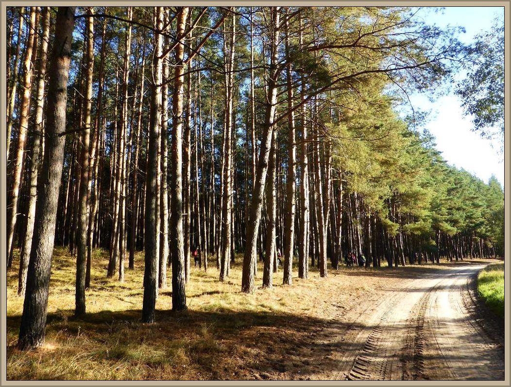 Und dann ging es ach schon in den lichtdurchfluteten Kiefernwald, der an diesem Oktober - Morgen aber auch nicht mehr zu bieten hatte wie fast alle anderen Wälder Mecklenburgs in diesem rekordverdächtig pilzarmen Herbst, nähmlich praktisch nichts!