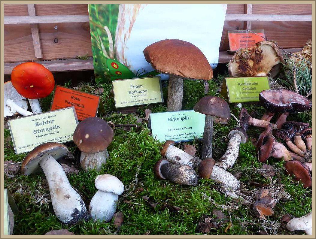 Die Pilzausstellung nimmt Form an. Dank Pilzfreundin Angelika Boniakowski haben wir auch so beliebte Arten wie Stein- und Birkenpilze oder Rotkappe mit dabei.