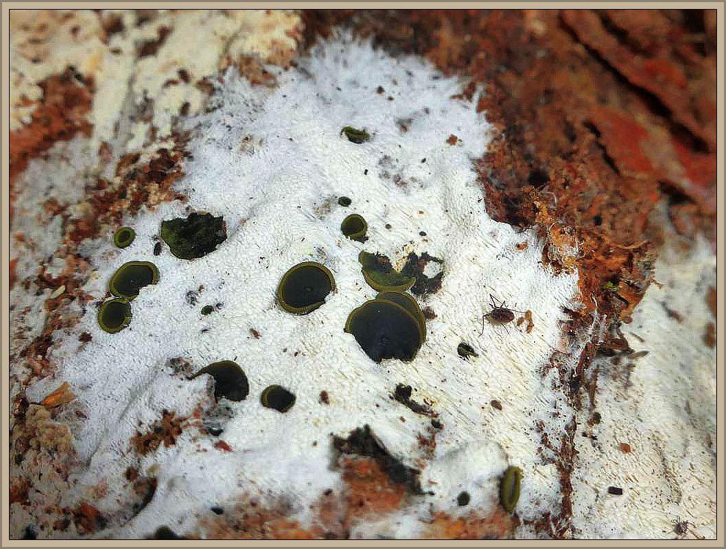 Ganz besonders ungewöhnlich war dieser Fund. An einem alten Holzstamm resupinate, weiße Belege, möglicherweise eine Steccerinum - Art, auf der sich oder aus der heraus grauschwarze Becherlinge wuchsen. In Habitus und Färbung mit der helleren Umrandung lassen sie zunächst an riesige Mollisia denken, den die Apothezien hatten bis zu 10 mm Durchmesser. Alles muss hier mikroskopisch geklärt werden.