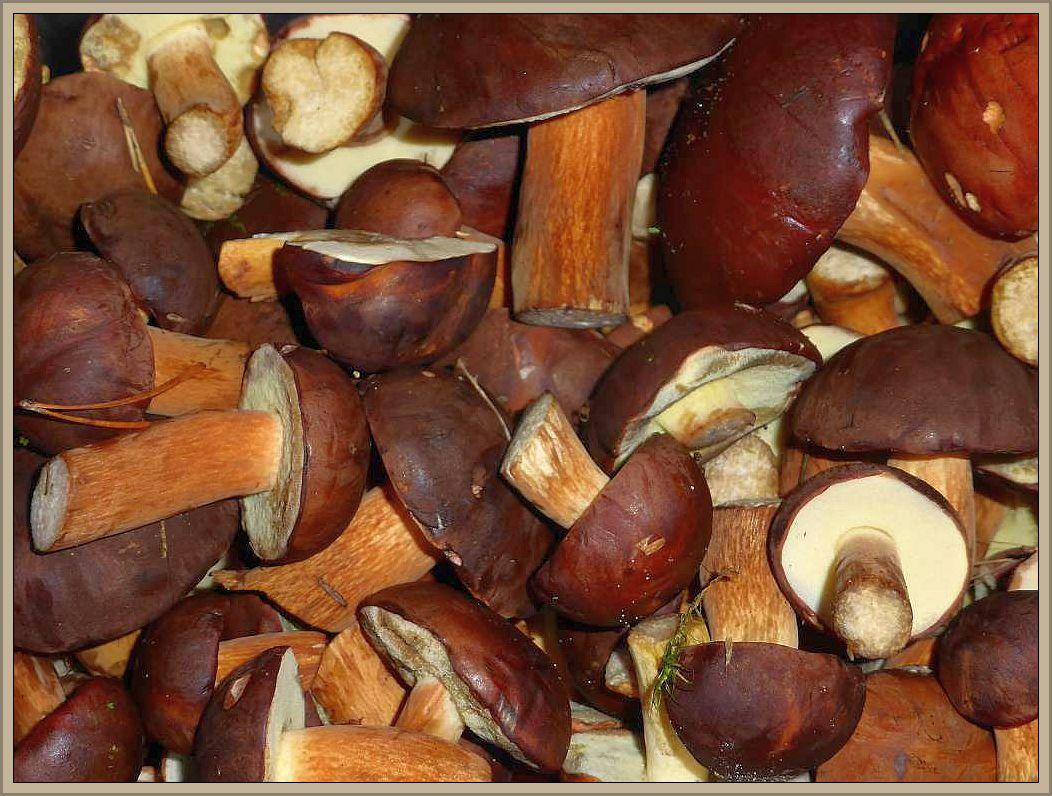 Maronen - Röhrlinge (Xerocomus badius) vom feinsten. Noch liegen sie auf dem Trockner, aber in kürze werden die eine luftdichte Dose getan und so konserviert sind sie jahrelang haltbar. Sollten sie zwischendurch ihr Rascheldürre verlieren, empfiehlt sich kurzes nachtrocknen, damit sich keine Schädlinge wie Schimmelpilze oder Insekten an ihnen zu schaffen machen lönnen. Maronen - Röhrlinge sind mit die schmackhaftesten Speisepilze mit kräftigem, aber unaufdringlichen Pilzaroma.