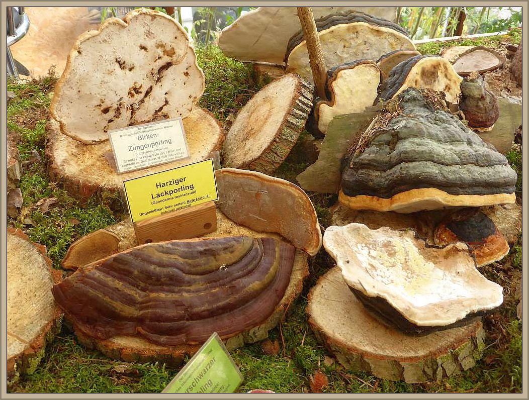 Auf der Ausstellung war dann auch der sehr seltene Harzige Lackporling (Ganoderma resinosum) zu bewundern. Eine sehr seltene Rote Liste Art die uns Ulrich Klein mitbrachte. Er fand die Pilze vor wenigen Tagen am Fuße einer alten Eiche.