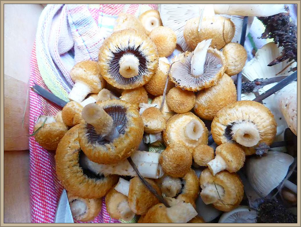 Fein säuberlich wurden diese schönen und jungen Pilköpfchen als Hallimasch eingesammelt. In der Tat ähneln sie dem Gelbschuppigen Hallimasch auf den ersten Blick sehr. Schaut man sich die dunkelblaugrauen Lamellen an, dürfte rasch klar werden, das es sich nicht um den beliebten Hallimasch handet. Beim genauen Hinsehen erkennt man auf den Lanmellenschneiden kleine Wassertröpfchen (Tränen) und der Hutrand ist faserig - schuppig umsäumt. Es handelt sich um die seltene orangebraune Form des Tränenden Saumpilzes, dem Feuerfaserling (Lacrymaria lacrymabunda var pyrotricha). Er kann gegessen werden..