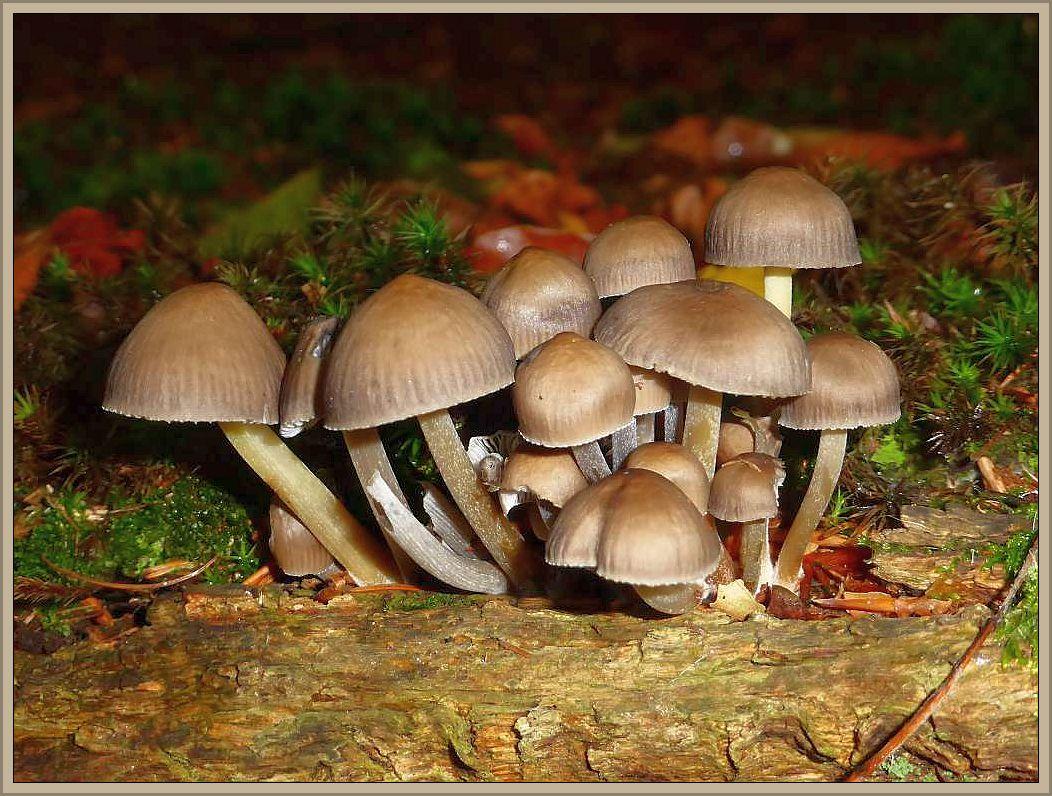 Der Buntstielige Helmling (Mycena inclinata) ist ein klassischer Herbstpilz. Wir finden ihn in dichten Büscheln an Laubholz, insebesondere von Eichen. Der graubraune Hut ist am Rand gezähnelt und stark gereift. Der glänzende Stiel ist zunächst weißlich und verfärbt sich später gelb bis gelbrötlichbräunlich. Die Spitze bleibt weiß, so dass er mitunter recht bunt erscheint. Der Geruch ist eigentümlich talgig und stark ausgeprägt. Daran erkennt man ihn auch, wenn die Stiele nicht typisch bunt gefärbt sind. Er besitzt keinen Speisewert.