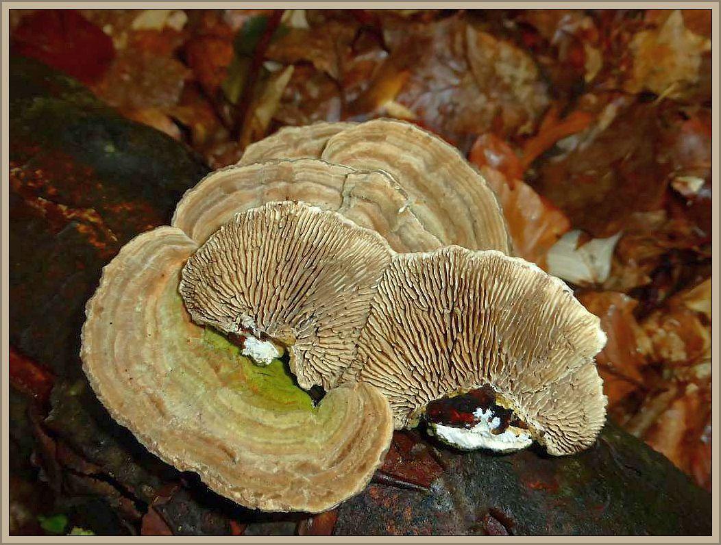 Der Birkenblättling (Lenzites betulinus) fruktifiziert keinesfalls immer an Birke. Häufig ist er auch, so wie hier, an Buchenholz zu finden. Von oben könnte er leicht für eine große Schmetterlingstramete oder einer Striegeligen Tramete gehalten werden. Betrachtet man die Unterseite mit ihrer Lamellenstruktur ist der Pilz sogleich erkannt.