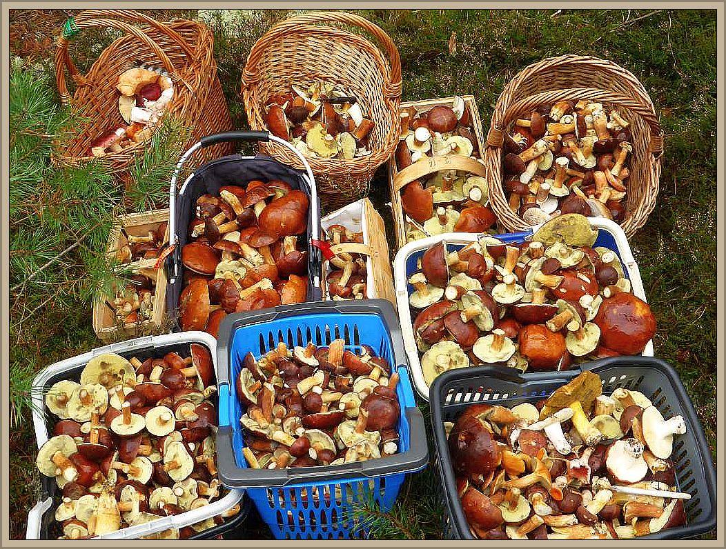 Die Masse bildeten allerdings gut gefüllte Körbe mit Maronen - Röhrlingen. Ein wirklich beeindruckender und würdiger Abschluß unserer herbstlichen Pilzseminars 2016.