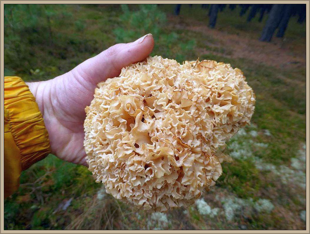Ähnliches kann auch bei der Krausen Glucke (Sparassus crispa) beobachtet werden. Sie ist in der Regel am Fuße älterer Kiefern und deren Stubben zu finden. Wo Kiefern mangelware sind, wächst sie auch gerne an Fichte oder auch Lärche.
