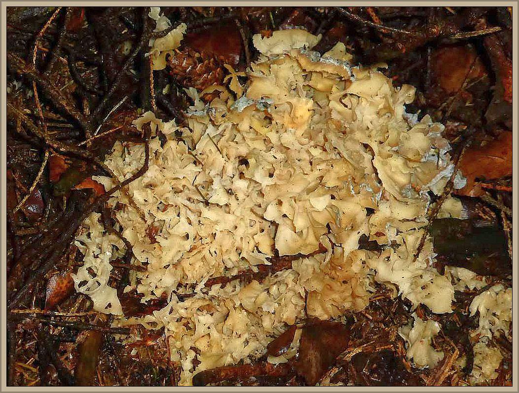Diese alte Krause Glucke (Sparassis crispa) fand ich gestern Abend im Fichtenwald bei Neumühle. Wie unschwer zu erkennen ist, beginnt sie bereits zu schimmeln und war auch so mürbe, dass sie schon beim aufsammeln auseinander gefallen wäre. Solche Glucken dürfen auf keinen Fall mehr zum Verzehr mitgenommen werden. In Zersetzung begriffen kann der beste Speisepilz zum Giftpilz werden.