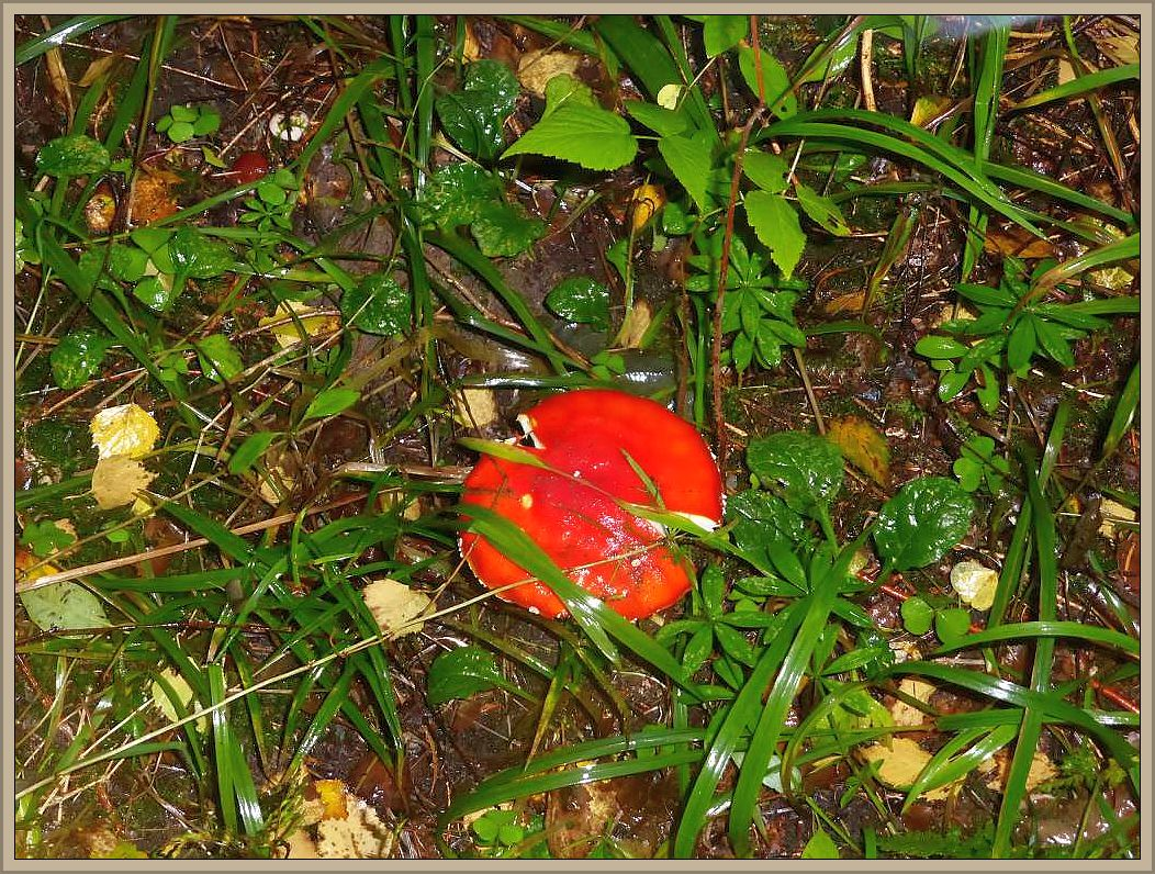 Welch ein Glück - der Fliegenpilz ist wirklich schön. Das er Giftig ist, weiß schon jedes Kind, dass er aber auch ohne weiße Flocken auftreten kann leider nicht. Der nächtliche Regen hatte sie abgespült.