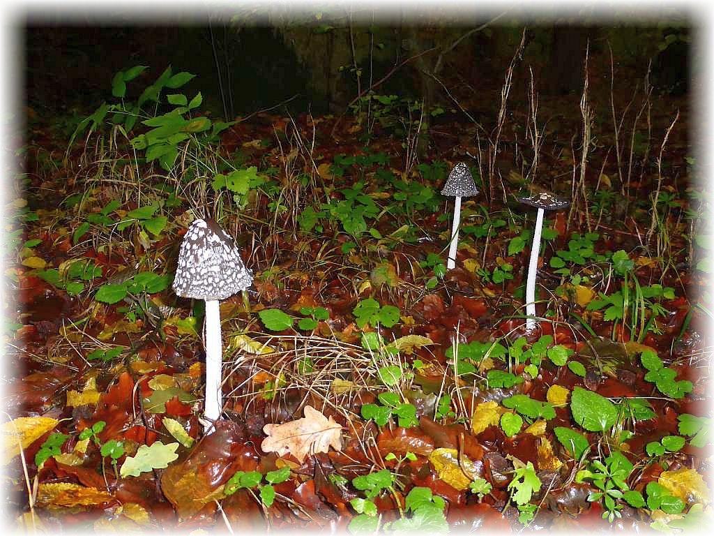 Zur Einstimmung begrüßte uns gleich eine Gruppe Specht - Tintlinge (Coprinus picaceus).