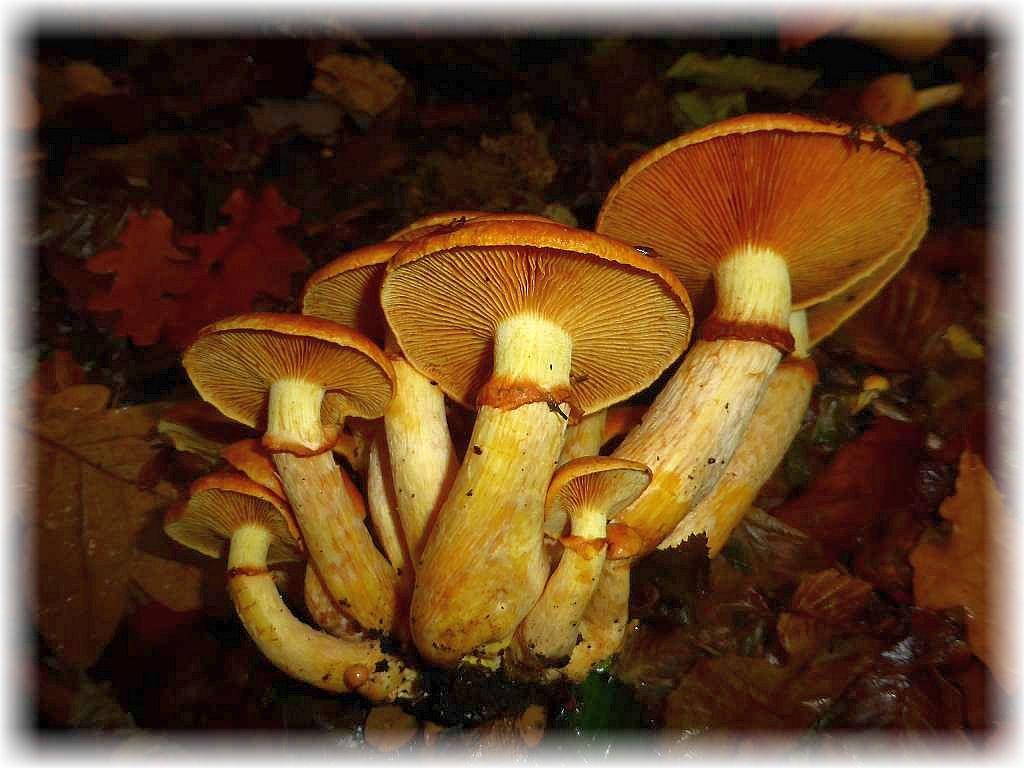 Aus Baumwurzeln heraus wuchsen diese Ansehlichen- oder Beringten Flämmlinge (Gymnopilus junonius). Die Gattung enthält keine Speisepilze, da alle Vertreter sehr bitter schgmecken. So bleiben diese wunderschönen Pilze nur ein Genuss für die Augen.