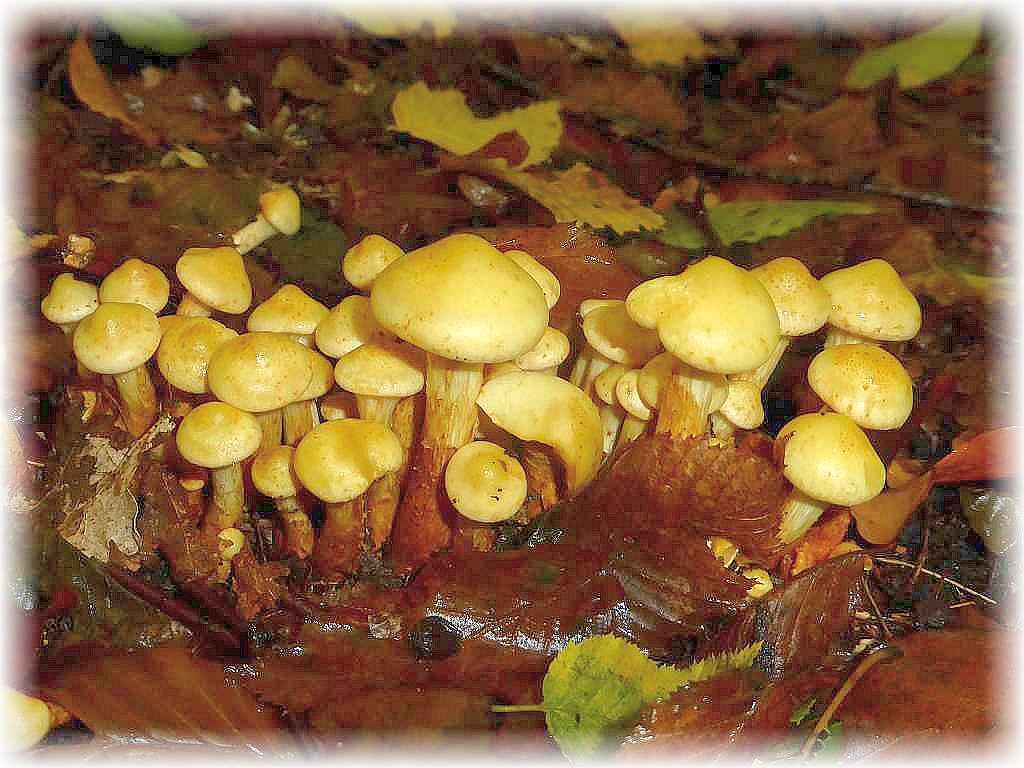 Gleich daneben brachen aus den Wurzelausläufern von Eichen unzählige Erlen - Schüpplinge (Pholiota alnicola) heraus. Diese ebenfalls ungenießbaren Pilze finden sich also nicht nur an Erlenholz. An Eiche soll auch der sehr ähnliche Aromatische Schüppling wachsen, mit auffälligen, aromatischen Duft, aber kleinen Schüppchen auf dem Hut.