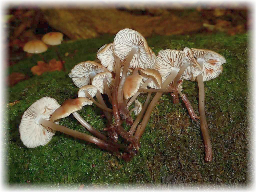 Der Oktober ist auch die Zeit vieler Helmlinge. Kleine Blätterpilze mit oft konischen Hüten und hellem Sporenpulver. Sie wachsen oft an Holz oder zwischen der Laub- und Nadelstreu. Hier sehen wir den an Eichen - Stubben häufigen Gefleckten Helmling (Mycena maculata). Ohne Speisewert.