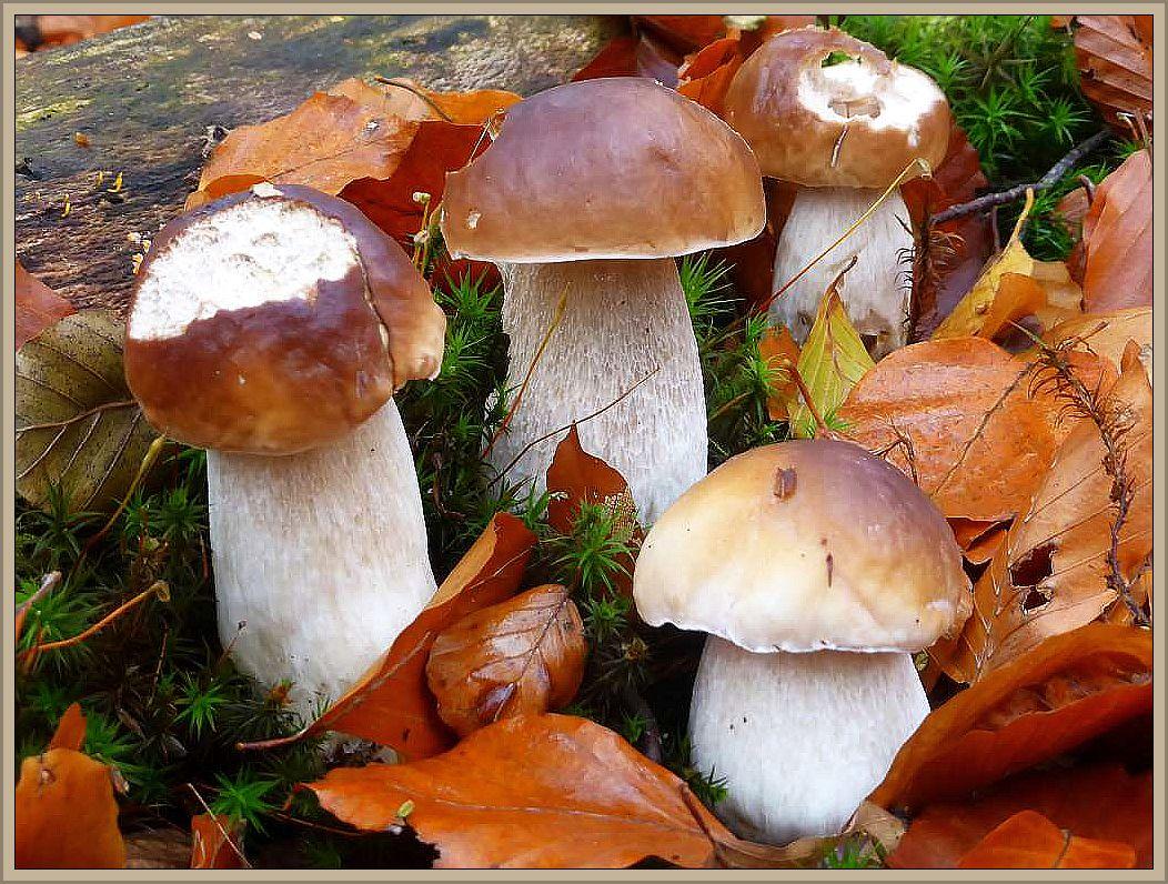 Auch auf unseren Bearbeitungsflächen, im Buchenwald des Vogelsanger Forstes, schoben heute die Steinpilze (Boletus edulis) ganz frisch. Das sie lecker schmecken, wissen auch die Tiere des Waldes. 31.10.2016.