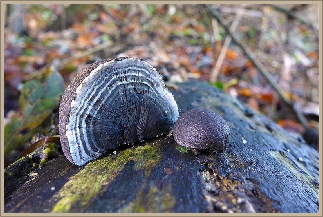 Hier ein Foto von Christian Ehmke das er kürzlich an der Wismarbucht bei Hoben aufgenommen hat. Es zeigt den markanten Holzkohlenpilz (Daldinia concentrica). In weiten Teilen unseres Einzugsgebietes ist die Art sehr selten. Eine Häufung der Fundstellen ist im äußersten Nordwesten Mecklenburgs zu verzeichen, vor allem im Klützer Winkel. Typisch sind bei diesem rotbraun bis schwarz gefärrbten Schlauchpilze die konzentrichen Zonen im Inneren. Er ist Holzbewohner und kommt beispielseweise in den genannten Gebieten gern an Esche vor.
