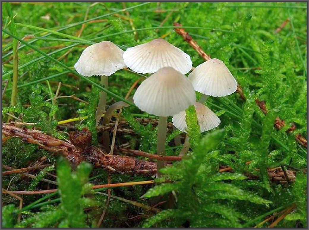 Der Kegelige Helmling (Mycena metata) ist ein häufiger Pilz besonders im Spätherbst in streureichen Nadelwäldern. Foto: C. Engelhardt.