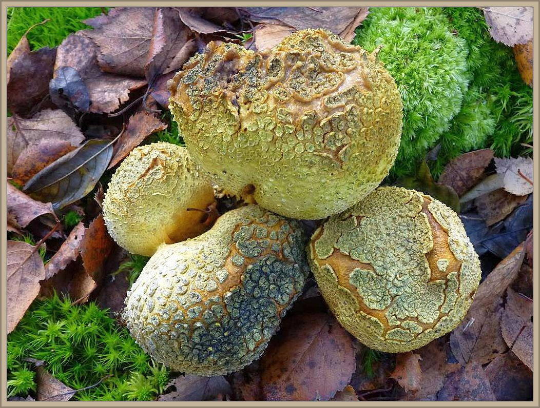 Dickschaliger Kartoffel - Hartbovist (Skleroderma citrinum). Giftig!