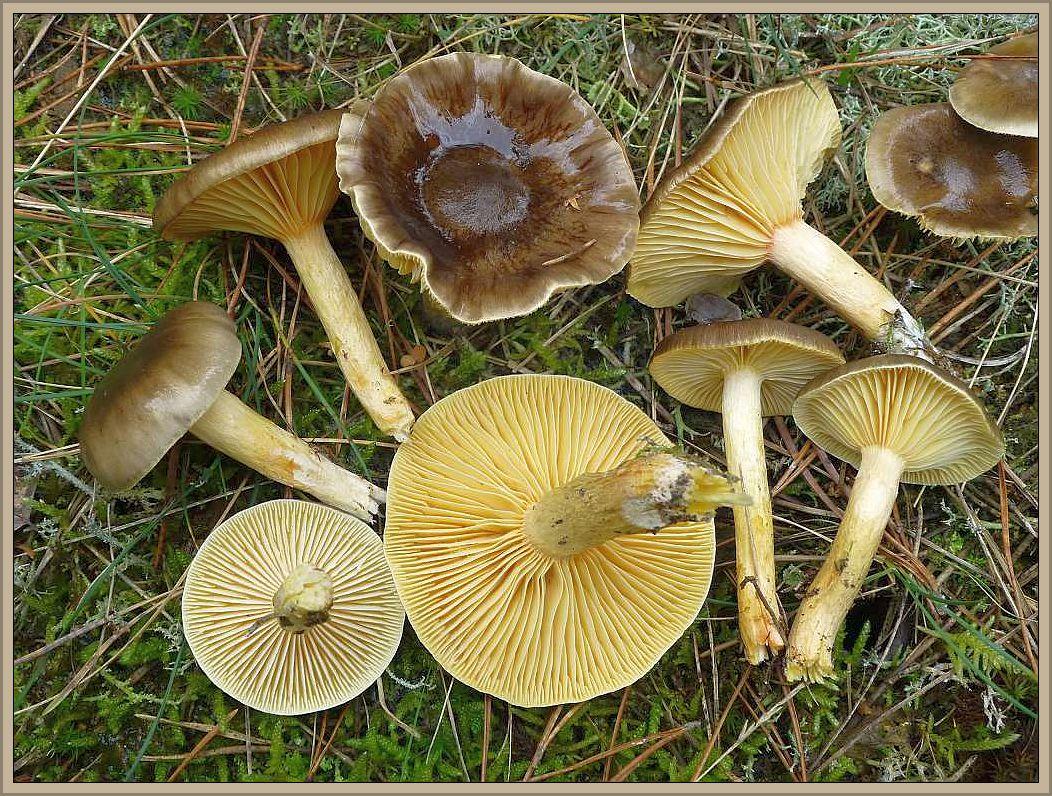 Frostschneckling (Hygrophorus hypothejus). Vorzüglicher, zart aromatischer Suppenpilz.