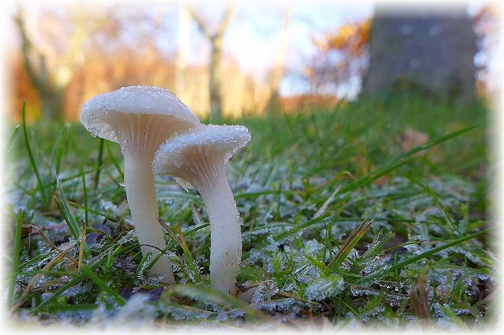 Ich weiß nicht wie der Schnee - Ellerling (Camarophyllus niveus) das Winterwetter der letzten Tage fand. Seinem Namen nach dürfte es ihm weing ausmachen. Diese schöne, frostige Stimmungsfoto hat für uns Christian Ehmke aufgenommen.