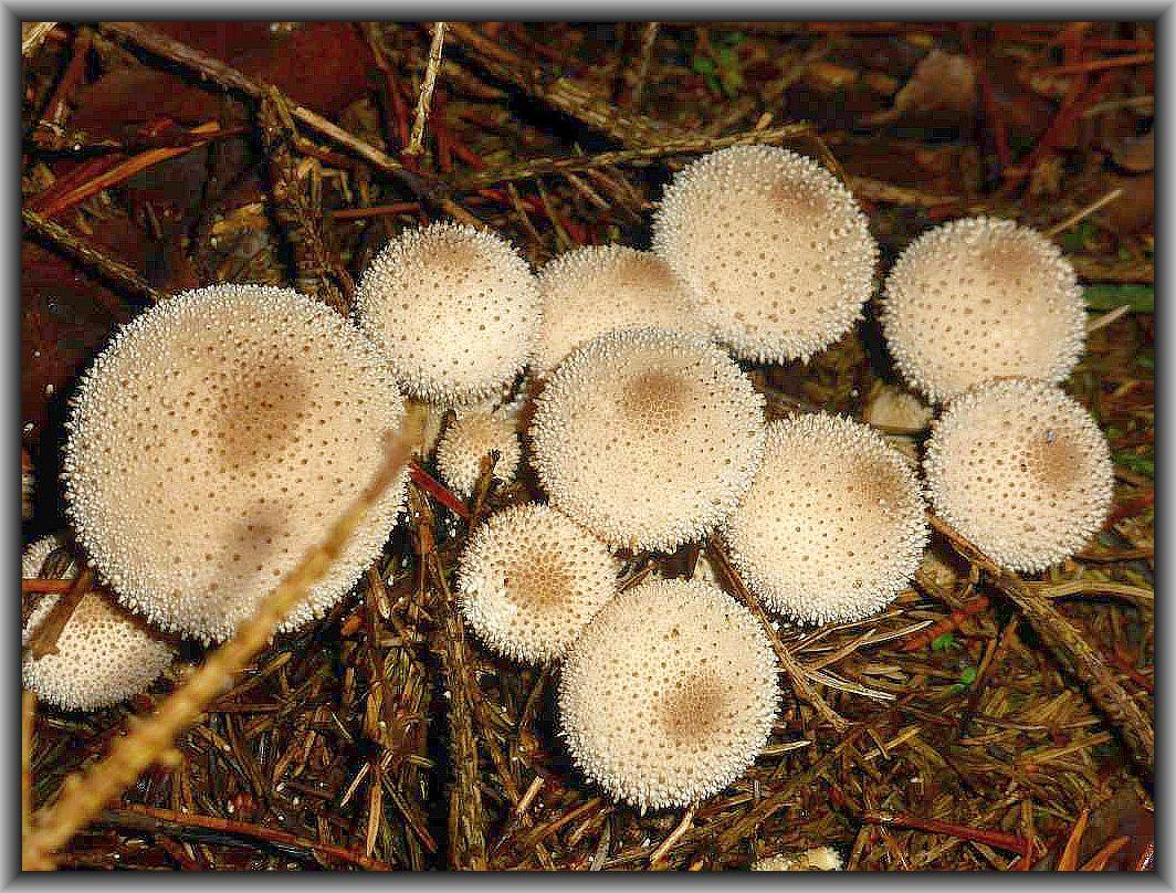 Der Flaschen - Stäubling (Lycoperdon perlatum) ist von vielen, kleinen Grieskörnchen besetzt, die bei der Ernte leicht abfallen. Druckfest und innen weiß ist er ein guter Speisepilz.