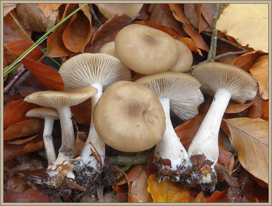 Auch hier sehen wir Raslinge, diesesmal im Buchenwald gefunden, genauer gesagt am 30. Oktober im Vogelsanger Forst bei Ueckermünde. Bei Verletzung und beim trocknen schwärzten sie allerdings, was wir beim Frostrasling nicht beobachten können. Unter dem Mikroskop konnte Chef - Kartierer Benno Westphal dann auch die markanten und namensgebenden Sporen erblicken. Es handelt sich um den bisher in M-V noch nicht nachgewiesenen Rautensporigen Rasling (Lyophyllum deliberatum). Essbar ist allerdings auch er, wenn man sich am schwärzen nicht stört..b